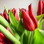 """Tulips"" by teaandorigami"