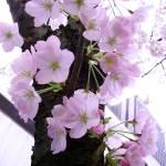 """Pink Blossoms"" by teaandorigami"