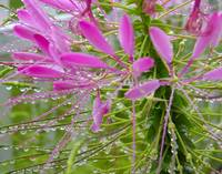 Cleome with Water Droplets