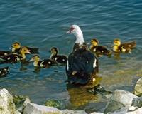 Muscovy Duck and Ducklings