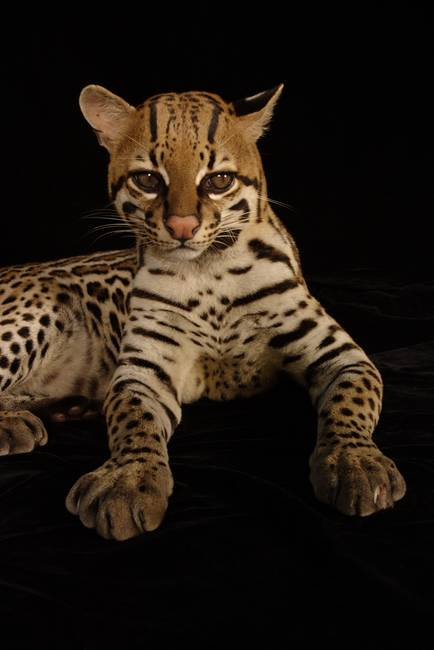 Information About Nocturnal Animals Fishing Cats