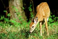Fawn with mysterious buck