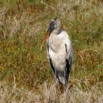 """Wood Stork Portrait"" by kphotos"