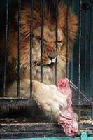 Lion at dinner in Russian zoo