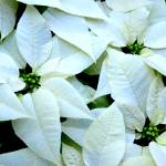"""White Pointsettia"" by LunarImage"