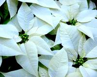 White Pointsettia