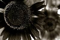Sunflower 3-sepia
