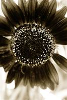 Sunflower 4-sepia