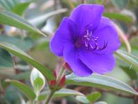 Purple flower of Madagascar