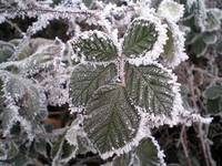 Blackberry leaves caught in a Hoar Frost