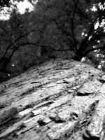 B&W Tree Bark & Canopy