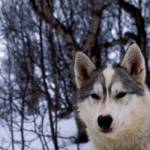 """""""Lone husky by woods"""" by adventureart"""