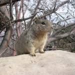 """Rock squirrel at the Grand Canyon"" by midwinter"
