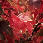 """Red Maple Leaf"" by EarthSmiles"