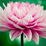 """""""In Her Greenest Dreams, Dahlia Is A Lotus"""" by lilia"""