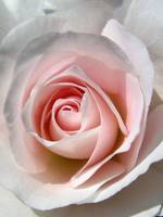 Pink and White Rose Center