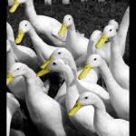 """Quack"" by querth"
