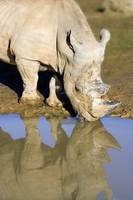 Reflected Rhino 1