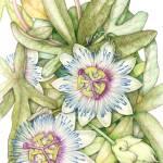 """Passion Flower"" by Elizabeth_Martin"