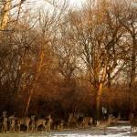 """""""Deer at Sunset"""" by fjsjr"""