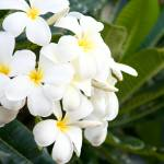 """Hawaiian Plumeria"" by chesman"