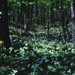 """Trillium in Otsego County, Michigan"" by RichardBaumer"