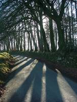 Beech grove on Dartmoor in the winter sun.