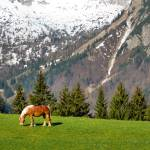 """Haflinger in the Alps"" by NMexico"