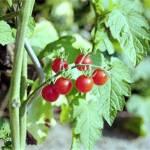 """Cherry Tomatoes"" by shelleyinmichigan"
