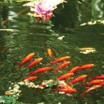 """Goldfish"" by donnablusher"