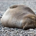 """Sleeping Elephant Seal"" by mnestler"