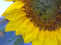 Giant Sunflower