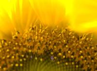 Macro Sunflower 1