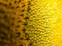 Macro Sunflower 2
