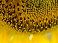 Macro Sunflower 4