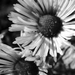 """""""daisy"""" by knystrom"""
