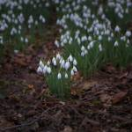 """""""Snowdrops"""" by Adrianhall"""
