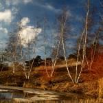 """""""Birch trees in late winter"""" by fjsjr"""