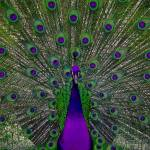 """Purple Peacock"" by fberluteau"