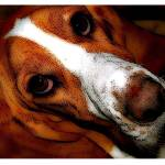 """Hound Dog Eyes"" by Alea"