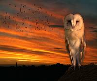 Owl Sunset