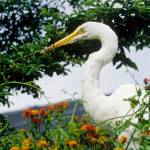 """Great Egret Catches Lizard"" by kphotos"