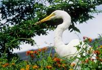 Great Egret Catches Lizard