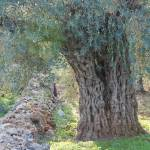 """Olive Tree"" by jcarillet"