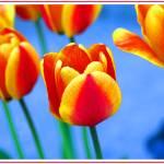 """""""Tulips"""" by davidmacneil"""