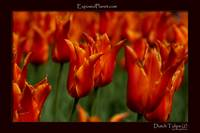 Orange Tulips in the Netherlandsclose