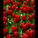 """Red Tulips in The Netherlands"" by ExposedPlanet"