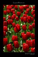 Red Tulips in The Netherlands