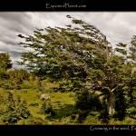 """Patagonia: tree growing in the wind"" by ExposedPlanet"