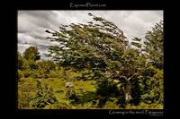 Patagonia: tree growing in the wind